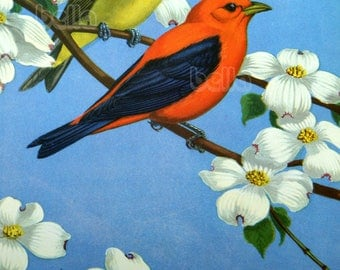Vintage BIRDS Print - Scarlet Tanager - Male and Female 1930s Book Illustration by Walter Alois Weber