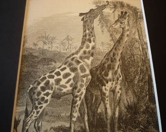 1870 Etching Giraffes South African Animals original Animal Kingdom Matted for 8 by 10 frame - gift for animal lover nature lover detailed