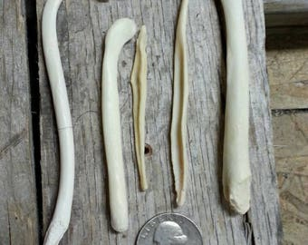 Bacula Bones- 5 Baculum- Coyote Fox Badger Otter Real Bones- Lot No. 170610-ZZ