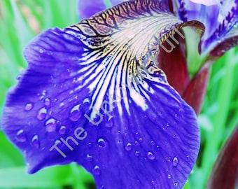 Iris Petal Photo Print