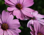 Deep Violet Purple African Daisy Photograph Wall Hanging Wall Art Fine Art Photograph Great Unique  Mother's Day Gift