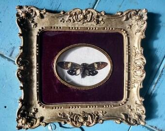 Real Mottled Cicada Cameo Under Glass in Vintage Frame