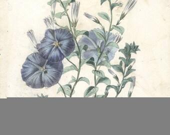 Francois Herincq-Convolvulus mauritanicus-1861 Lithograph