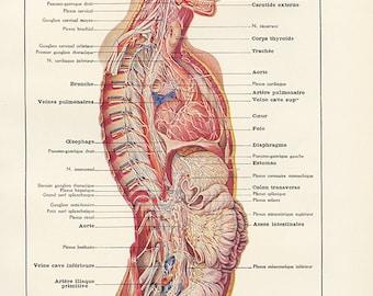 Cerveau 1962 Gravure d'anatomie vintage Système nerveux Déco médicale Cadeau pour médecin Poster d'anatomie Déco de cabinet médical
