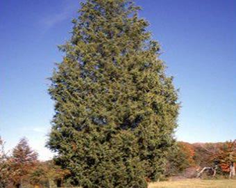 100 Eastern Red Cedar Tree Seeds, Juniperus Virginiana
