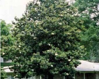 100 Sweetbay Magnolia Tree Seeds, Magnolia Virginiana