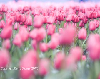 Soft Focus Tulips in Pink and Green 4x6,5x7, 8x10, 11x14