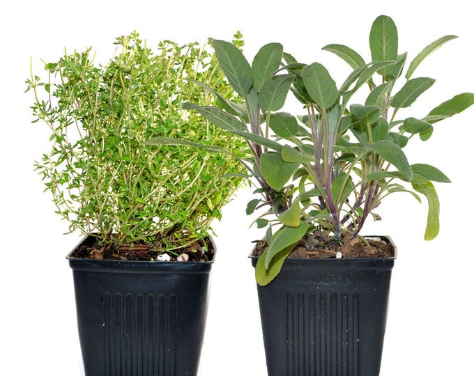 Herb Collection Sage and Thyme Grown Organic Herb Plants Contains 2 Live Plants Potted - Great Gift for Gardeners Non-GMO