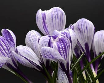 Saffron Crocus seeds,purple white  saffron crocus seeds,crocus of Kozani seeds,222,gardening,