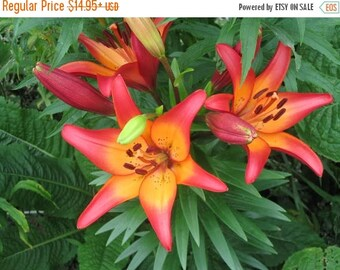 BIG SALE Asiatic Lily, (Royal Sunset) Perennial