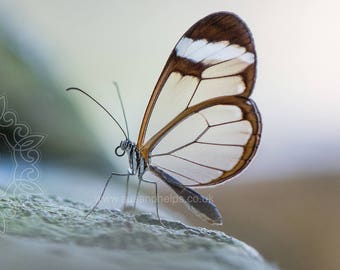 Glasswing butterfly Fine Art Photographic Print. Mounted 16 x 12 ready for you to frame.
