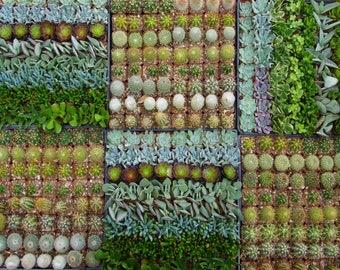 50 Mix Cactus Succulent Collection  Party Favors Plants in 2 inch pots