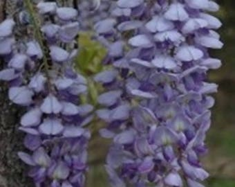 Blue Chinese Wisteria Sinensis * Seeds