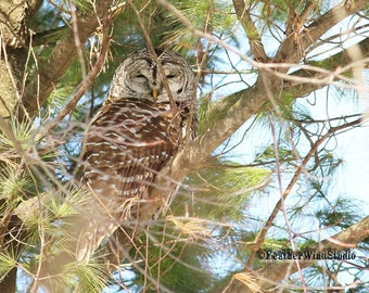 Barred Owl Photo   Owl in Pine   Raptor Decor   Owling   Nature Wall Art   Home Office Restaurant Wall Decor   FeatherWindStudio   Owl Print