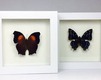 Two Framed Butterflies Wooden Frame Entomology Insect Art