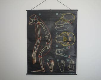 Original Vintage School Wall Pull Down Chart Map of the Chimpanzee / Monkey Anatomical by Dr AUZOUX Cie illustrated by Paul Sougy 1950 s