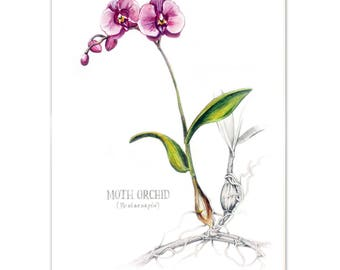 Moth Orchid Watercolour painting - Limited edition prints (100 Only)