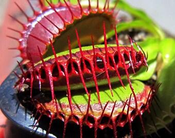 VENUS FLYTRAP Dionaea Muscipula 10 seeds