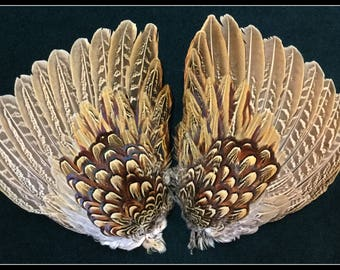 2 pheasant wing sections from a ringneck rooster pheasant, wing feathers, pheasant feathers