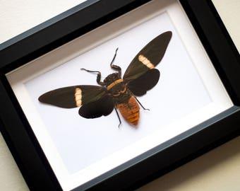 Framed cicada, Tosena albata