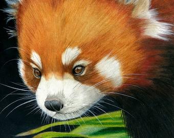 Red panda - Art Print.