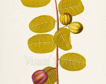 Coco Plum Botanical Print, Plum Art Print, Plum Wall Art, Fruit Art, Fruit Print, Kitchen Art, Garden