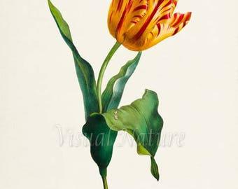 Yellow and Red Tulip Flower Art Print, Botanical Art Print, Flower Wall Art, Flower Print, Tulip Art Print, red, yellow, Tulipa culta
