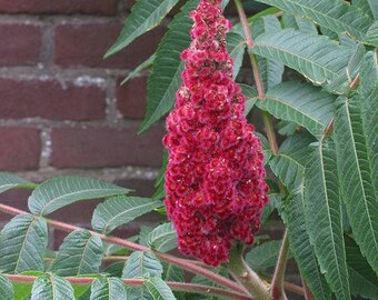 50 STAGHORN SUMAC TREE Rhus Typhina Yellow Flowers Red Berries Seeds
