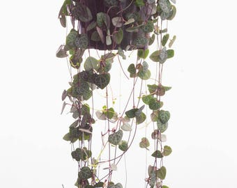 """LARGE Purple String of Hearts 6"""" Hanging Plant Trailing Succulents, Rosary Vines, Ceropegia Woodii, Rare Succulent Basket, String of Pearls"""