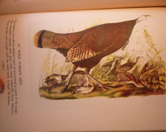 Wild Turkey Hen - Audubon Color Plate - for birders - nature lovers 8.25 by 5 inch ready to frame Thanksgiving dinner - wild fowl autumn