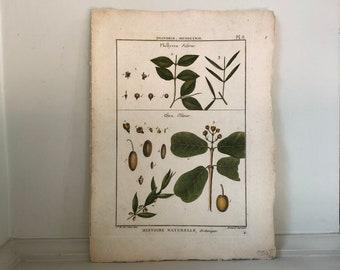 c. 1793 OLIVES BOTANICAL PRINT - original antique fruit print - botanical engraving by Deseve - hand colored fruit engraving - olive print