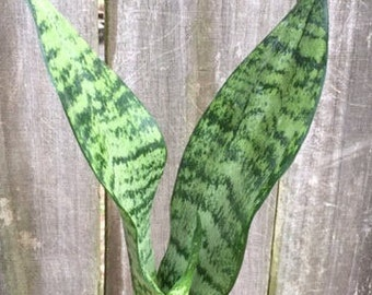Sansevieria Robusta- Snake Plant Clean Air House Plant-Organic Houseplants