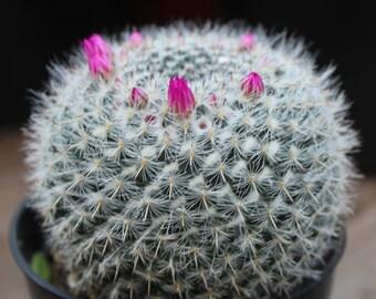 """Mammillaria hahniana 4"""" Pot"""