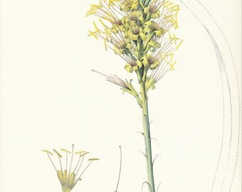 Agave yuccaefolia flower succulent plant vintage botanical print Pierre-Joseph Redouté gift for gardener cottage decor 8.5 x 12 inches