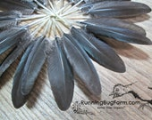 Long Quill Wing Feathers Cruelty Free Feathers Metallic Black Feathers Real Bird Feathers Natural Feathers For Crafts Qty 20 Size 2.5-3""