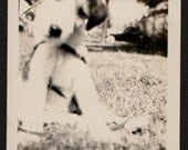 Vintage Photo Up Close View of Cute Terrier Puppy Named Suzy 1930's, Original Found Photo, Vernacular Photography