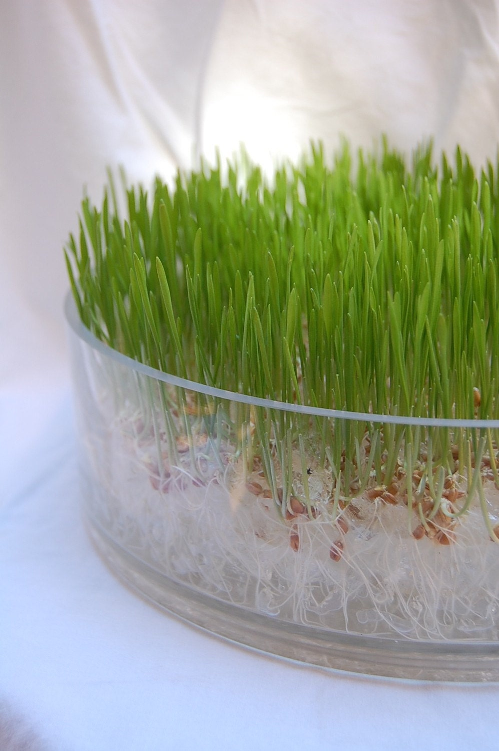 Chic Wheatgrass Soil-less Grow Kit In Glass Bowl
