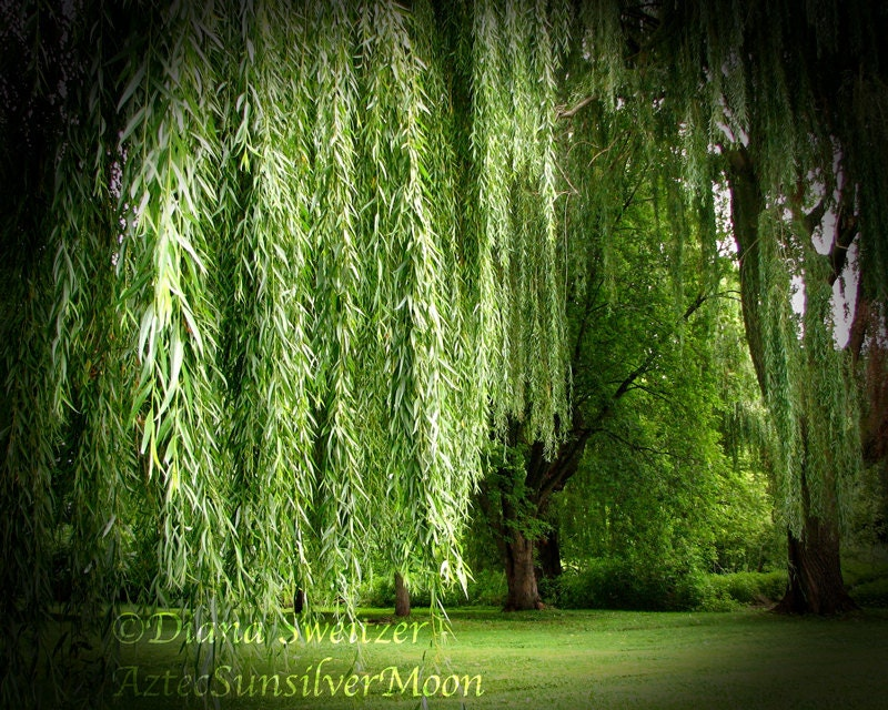 The Haunting Weeping Willow Tree Fine Art by WindDancePhotography