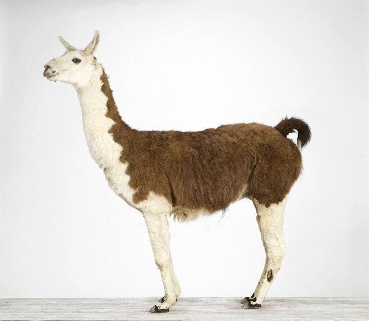 Llama, 7 x 8 Fine Art Prit