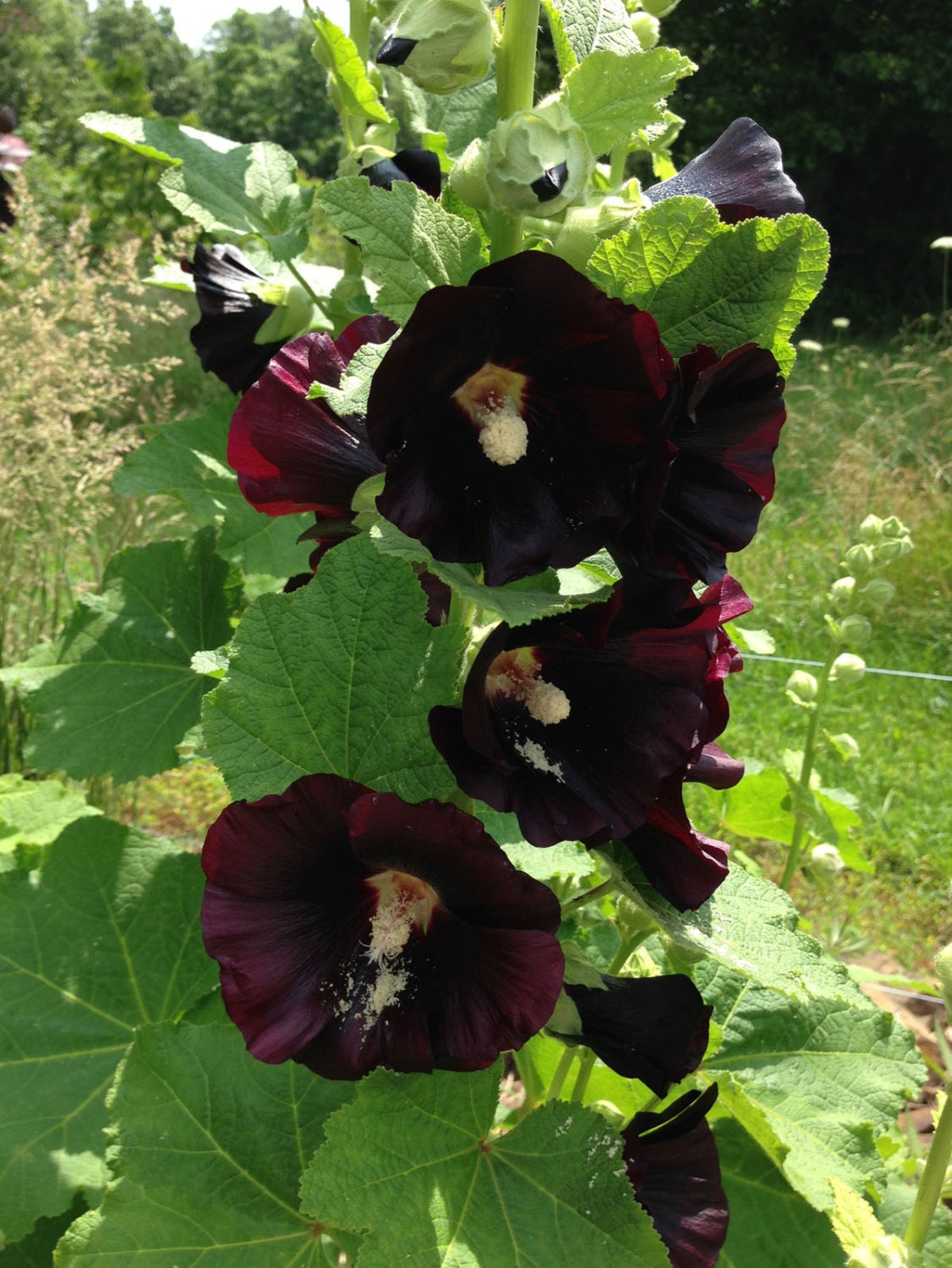 Old fashioned hollyhock seeds 86