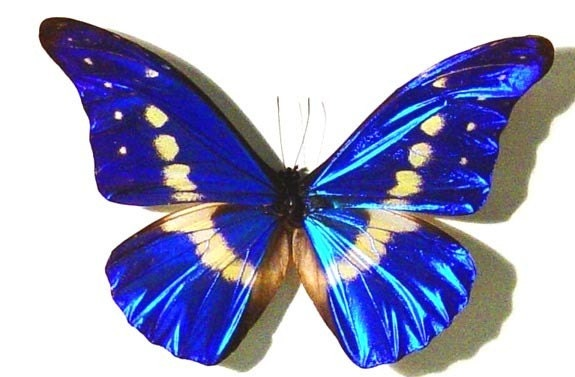 Real Blue Morpho Helena Butterfly Display M907 - REALBUTTERFLYGIFTS