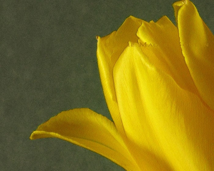 Spring Yellow Flower Botanical Photo Mothers Day -Yellow Tulip -8x10 Photograph