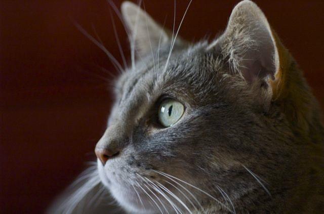 Stunning  gray cat photograph - 4x6 fine art print
