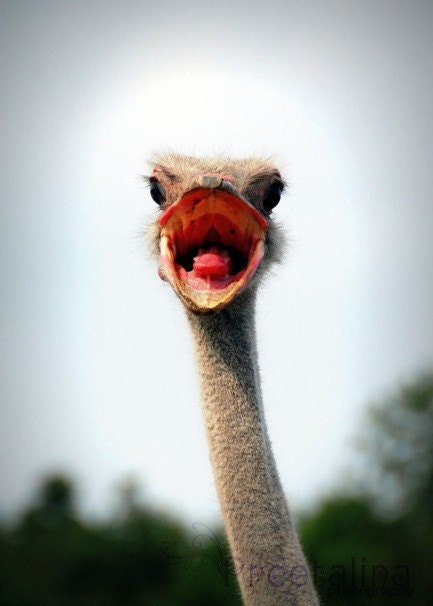 Crazy Ostrich - 5x7 Silk Fine Art Photograph
