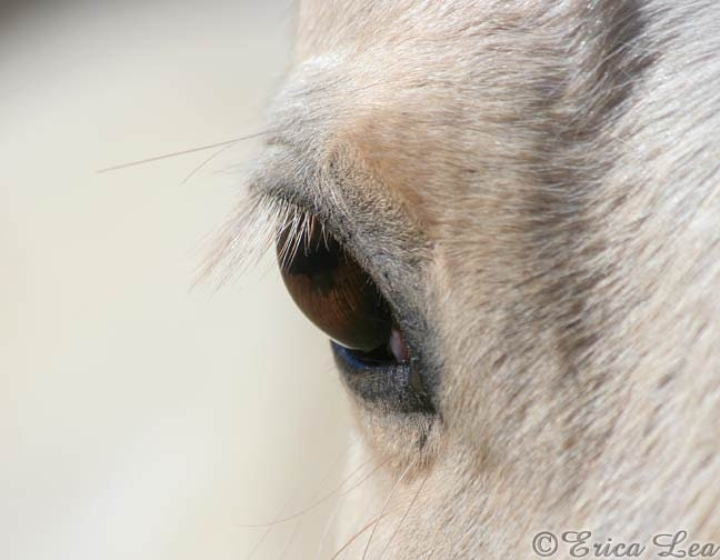 Cream Horse Eye Photography Equine Art Photo Western Home Decor 5x7 Print Vision - NatureVisionsToo