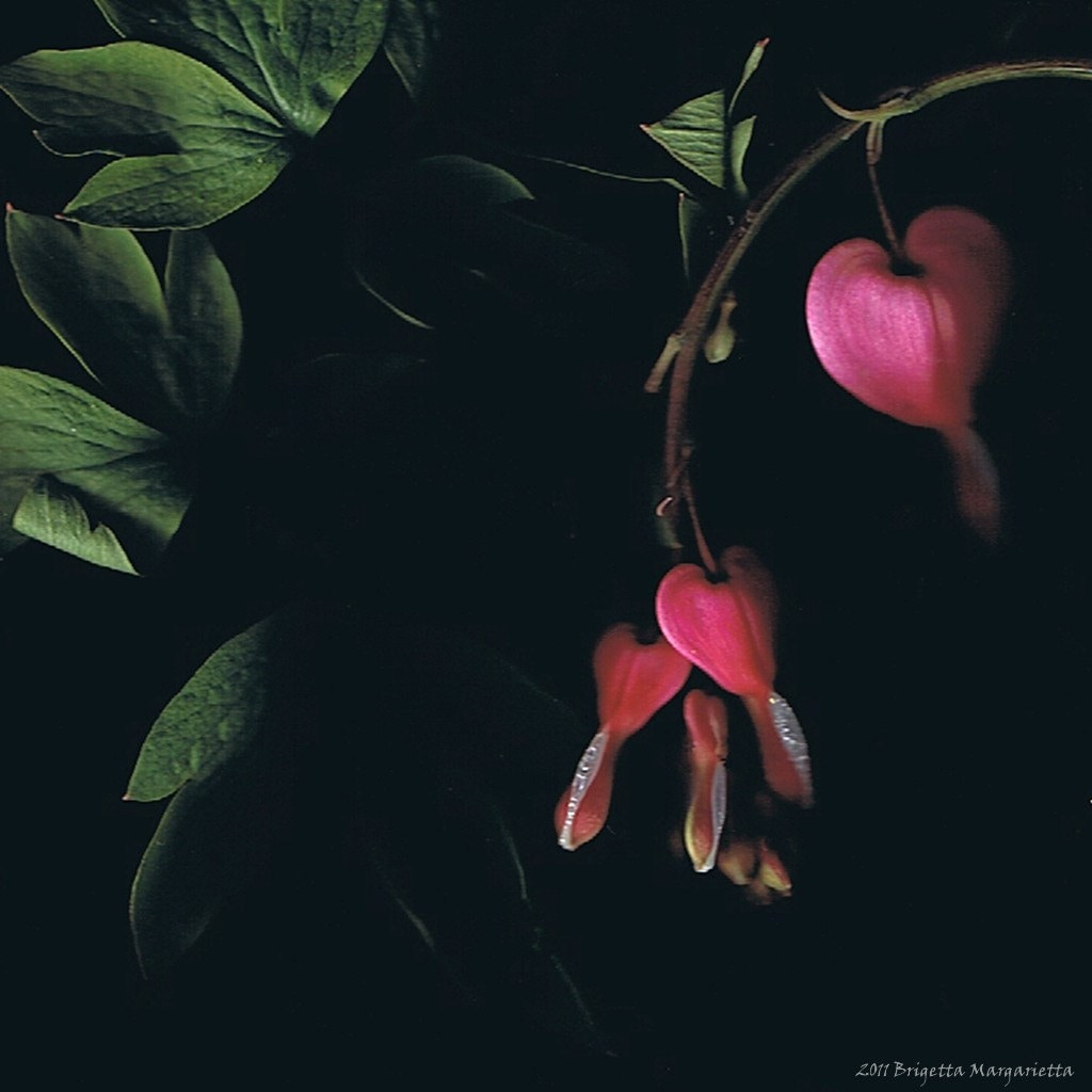 Botanical Bleeding Hearts 8 x 8 Pink Green Black White Scanography Visual Poetry Romance Love - brigettamargarietta