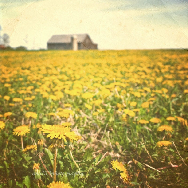 50% OFF SALE- Nature Photograph, Landscape Photo, Rustic Picture, Barn, Dandelions, Yellow- 5x5 inch Print - It Was All a Sunny Daydream - ara133photography