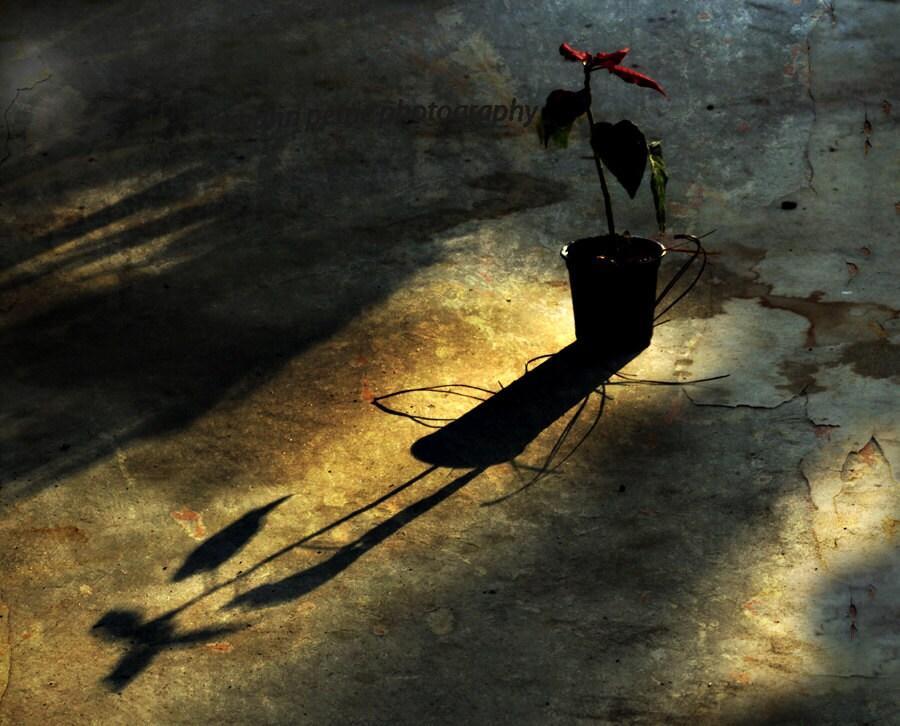 Poinsettia..Minimalistic Still Life..Red, Gold, Shadows, Autumn, Light..fine art photography, home/office decor print - FrameOnYou