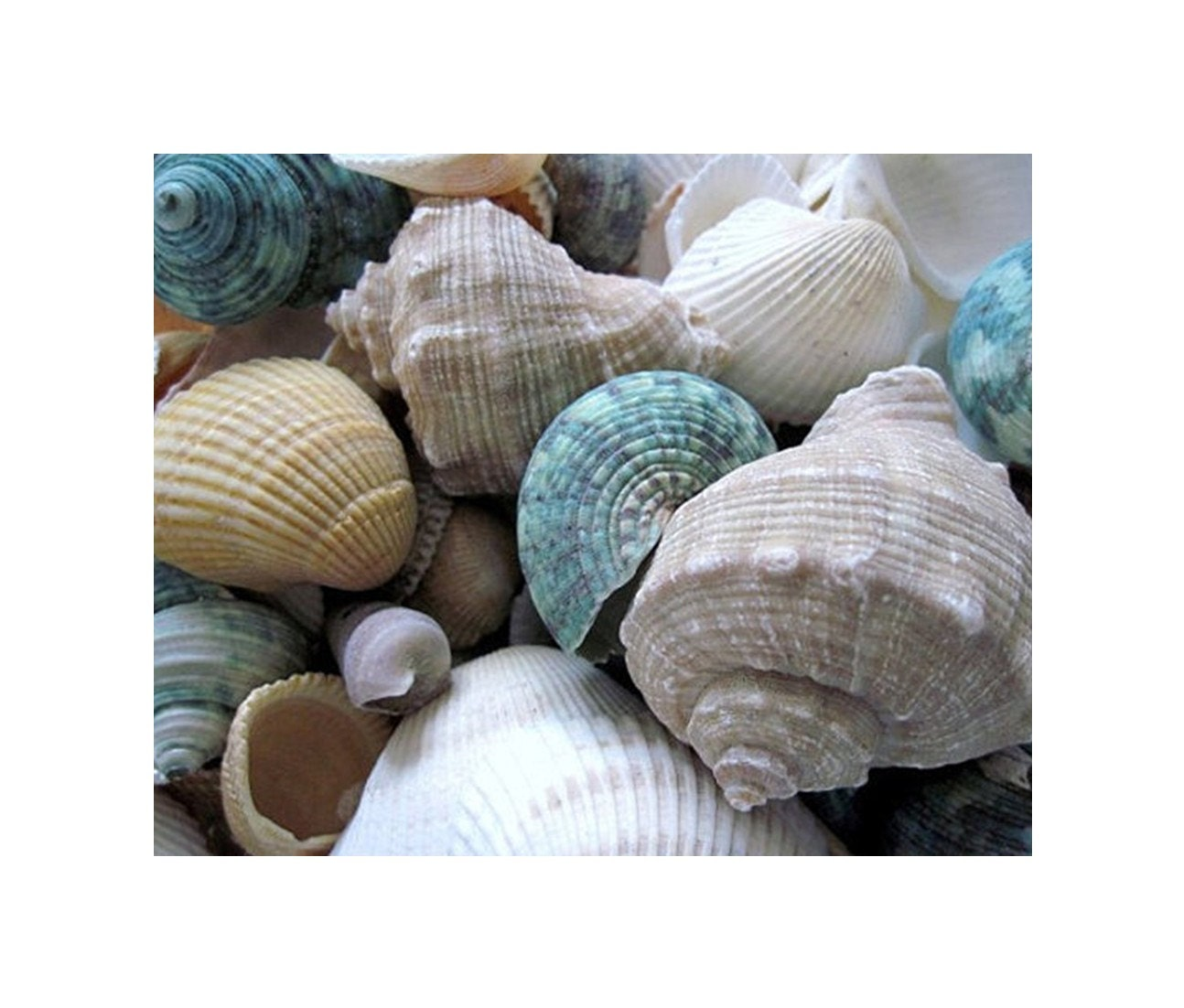 Aqua  Seashells, 10 x 8, Fine Art Photograph, Tan, Taupe, Ivory, White, And Aqua Shells...Macro Modern