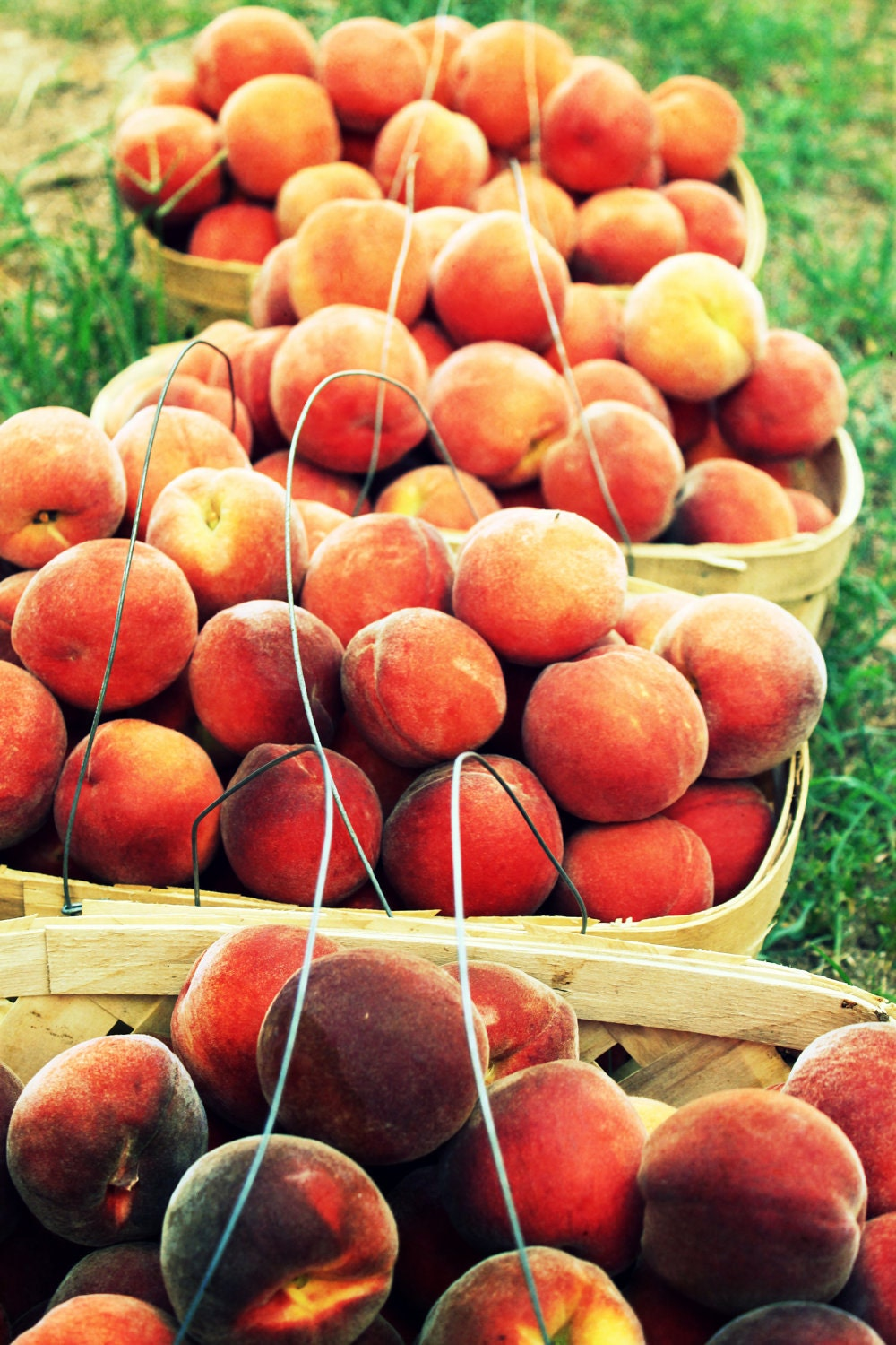 Peaches orange south southern yellow red fruit basket green grass country rural rustic simple gray 8x12 photograph clanton alabama - SouthernHippie